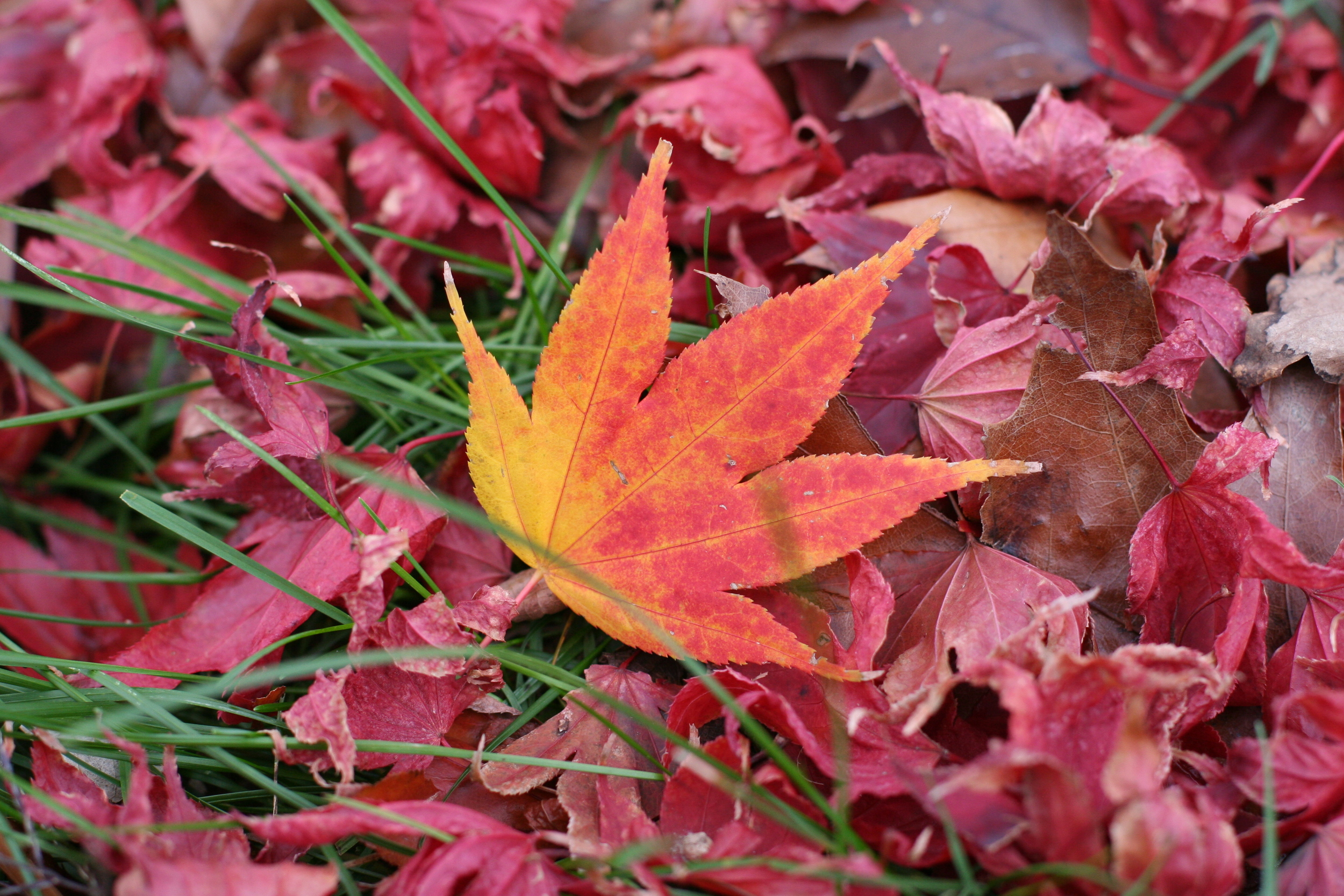 Don't rake away those fall leaves! Collect and use them.