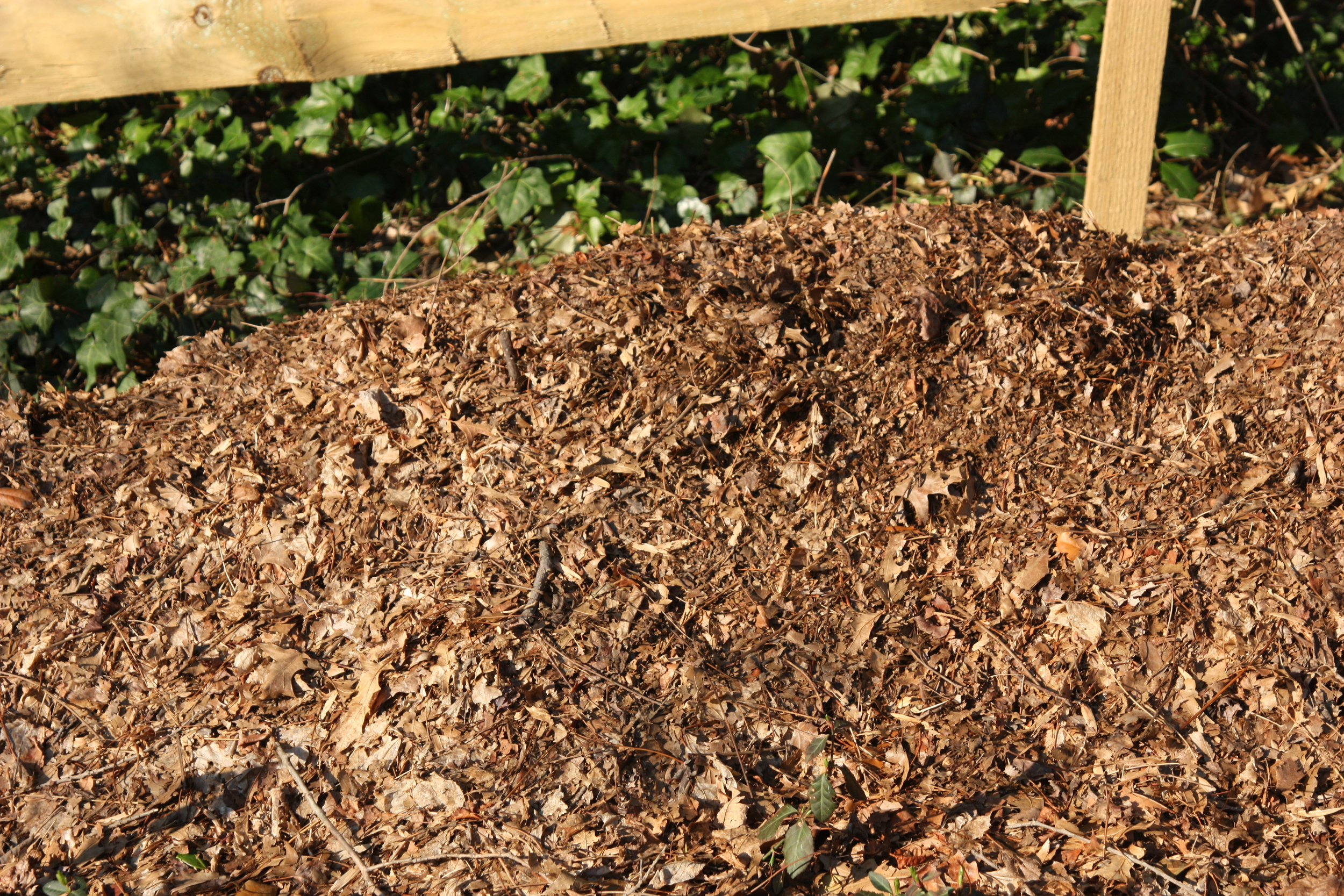 These chopped leaves collected in fall will convert to functional, attractive leaf mulch by spring.