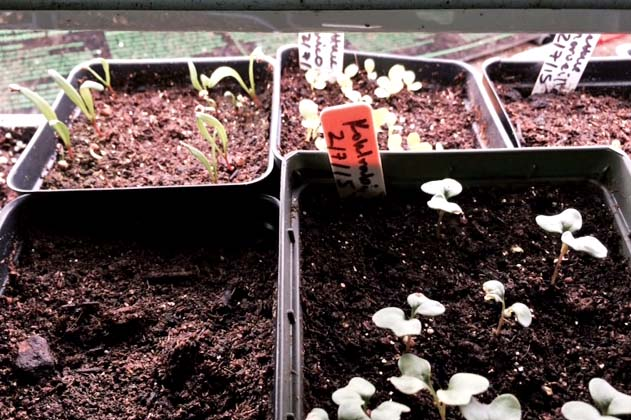 Broccoli, kohlrabi, spinach, and kale seedlings just getting started.