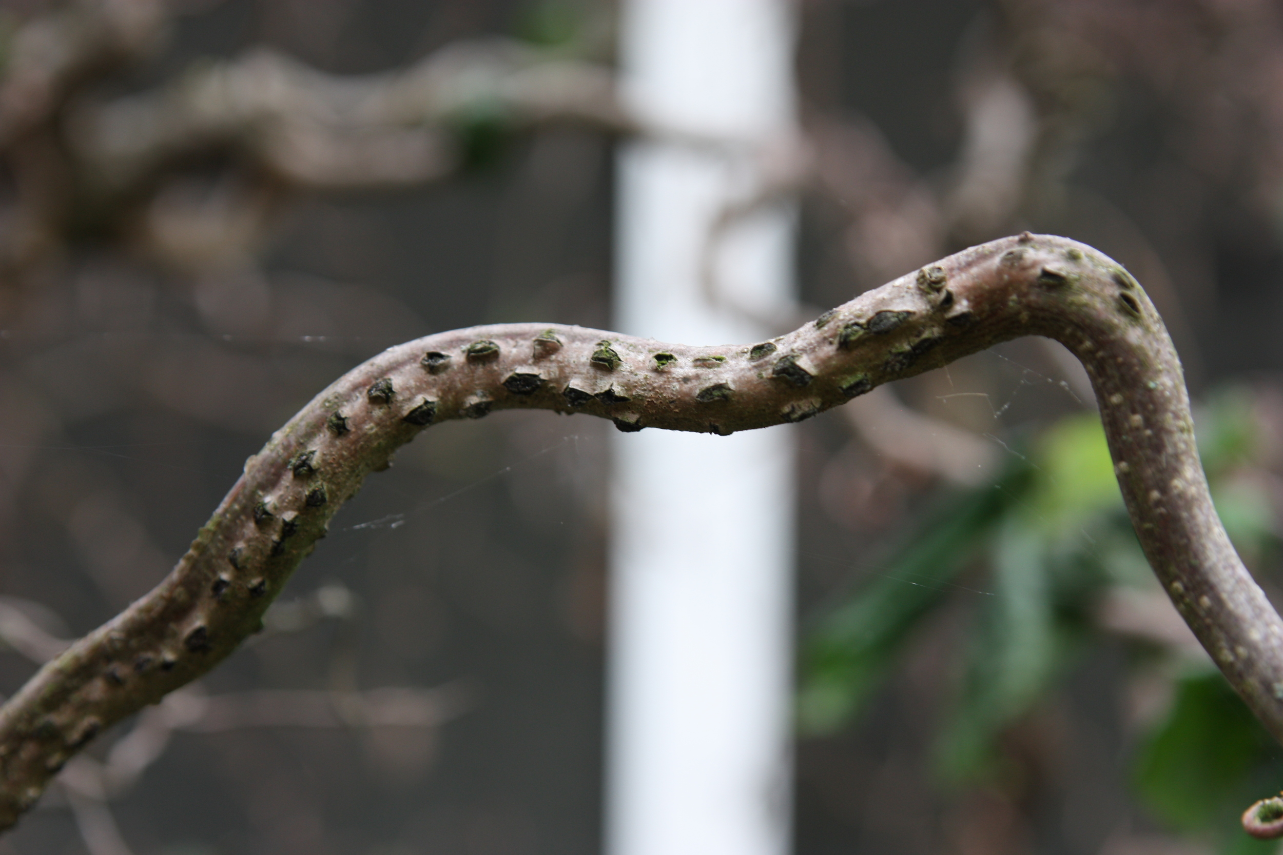 Cankers that appear along stems are the sure sign that this disease has taken hold.