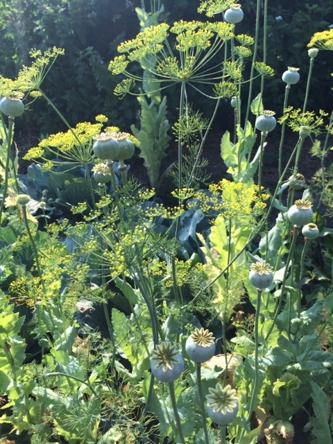 Dill and breadseed poppy heads