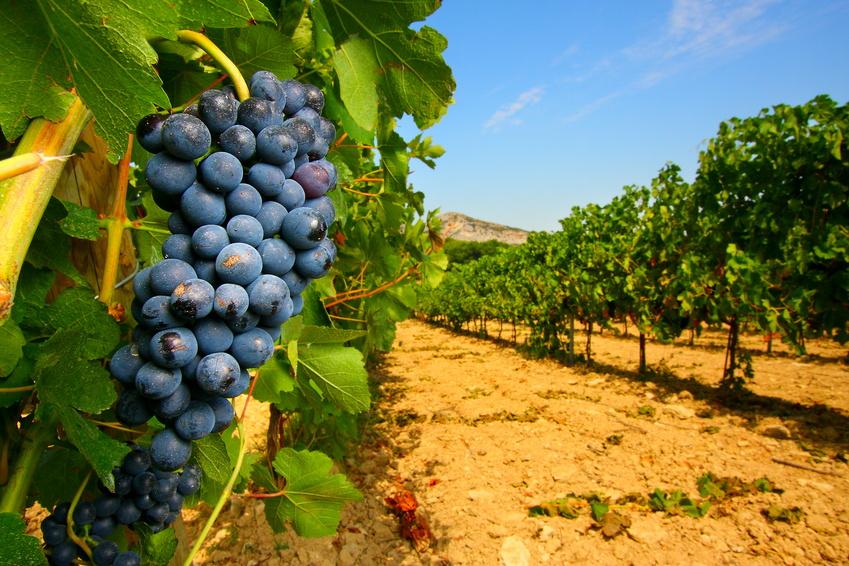 Raisins vins Camargue, terroir des Vins du Domaine de la Forêt