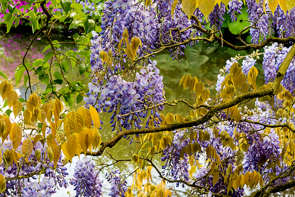Monet's Wisteria  (c) Bob Bicknell