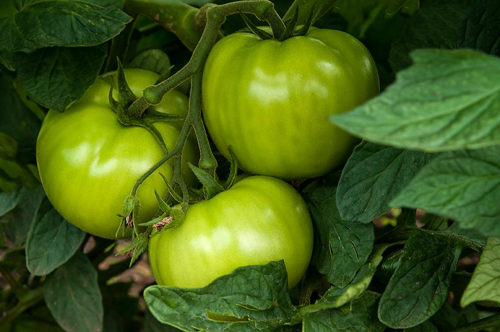 Green Tomatoes, Kenney Farm (c) Bob Bicknell
