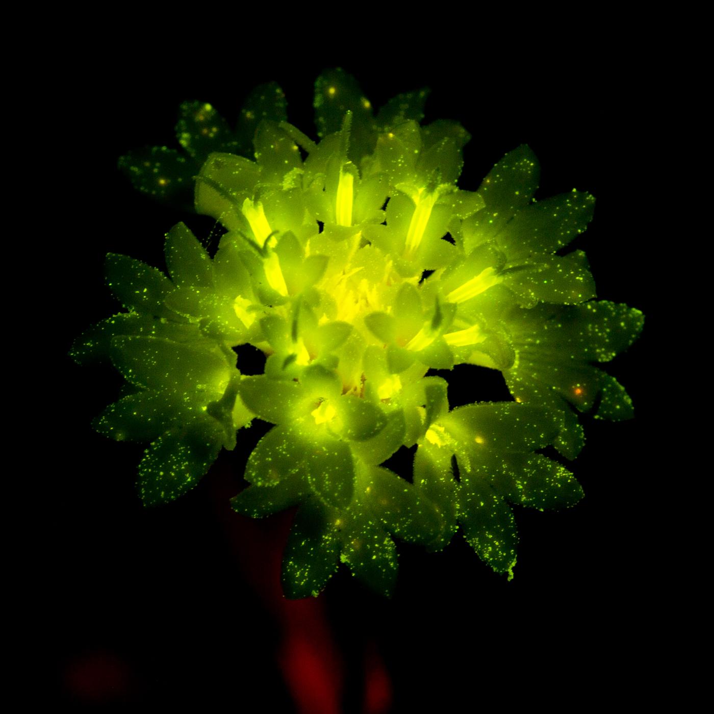 Light under Light: Flower (c) Charles Mazel