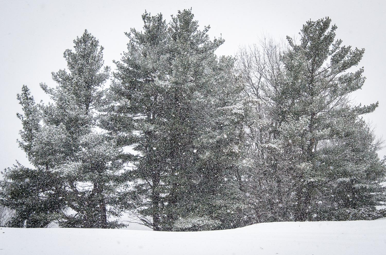 Pines  (c) Susan Kottler