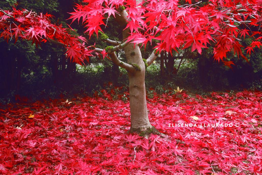 Magic Red tree, Fall 2011.