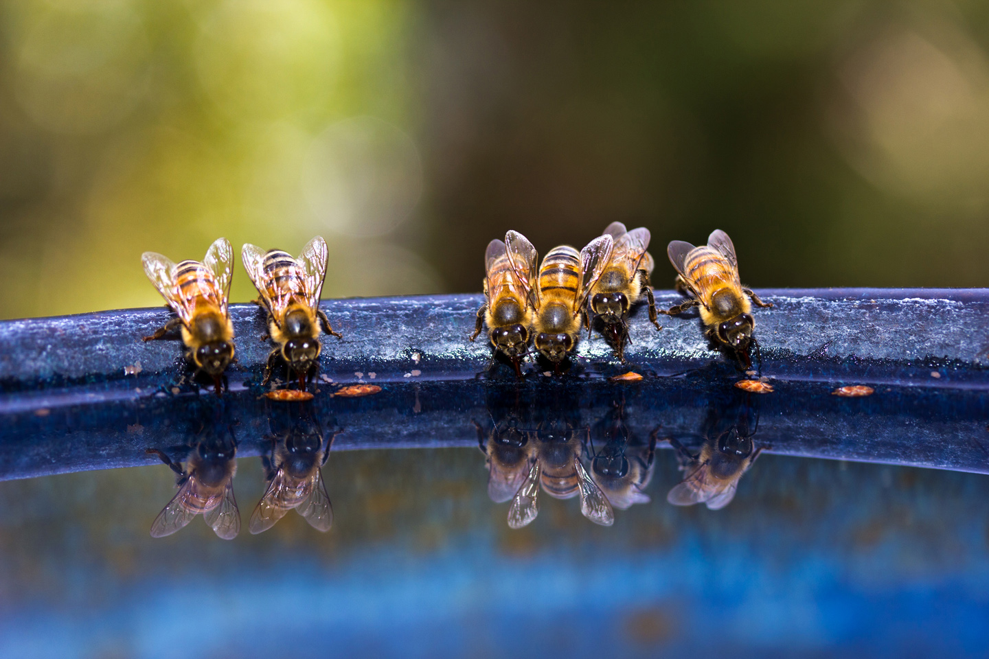 Sedona Bees stop for a sip of water. Photo by J. Spenser.