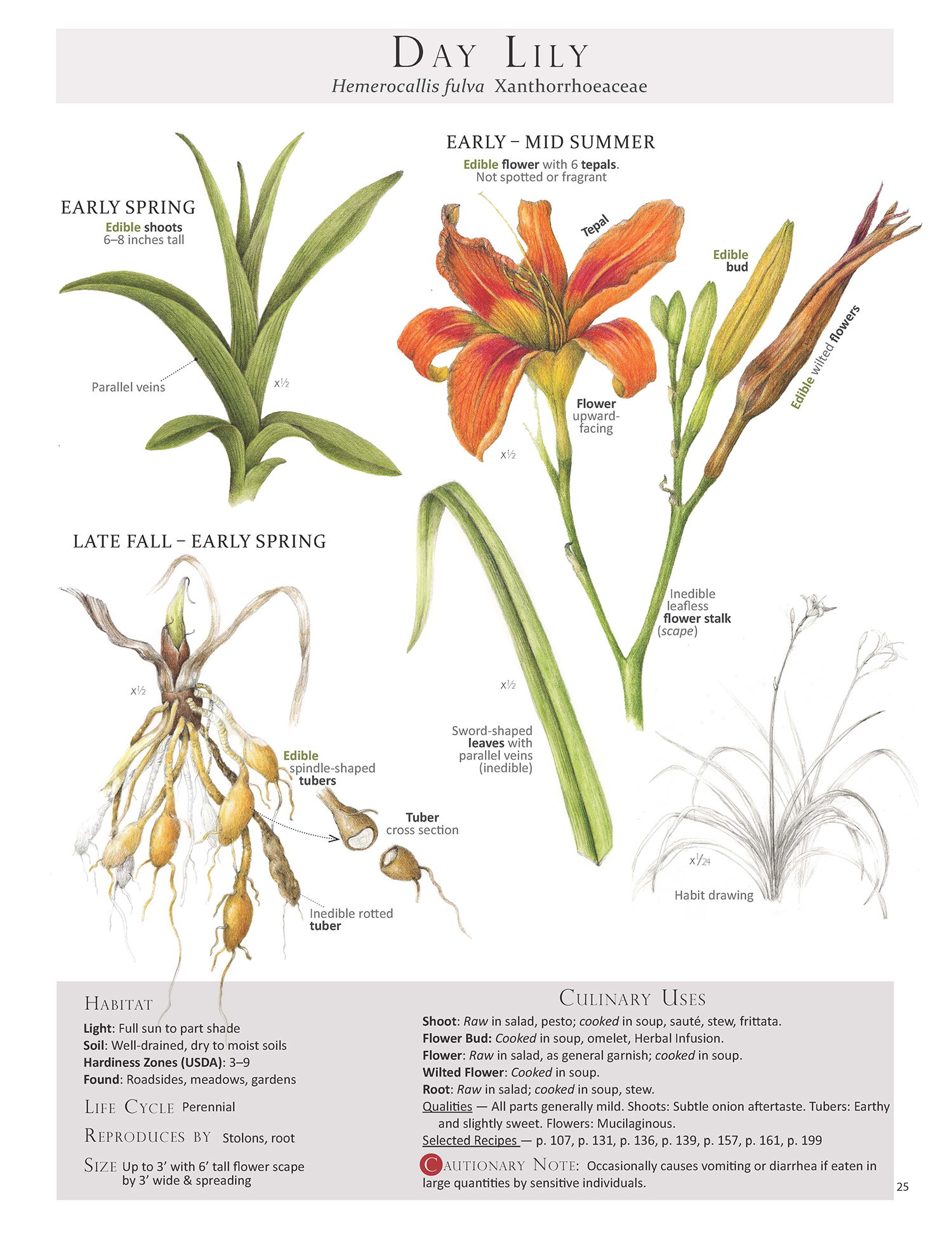 The Day Lily Plant Identification Page from the book  Foraging & Feasting
