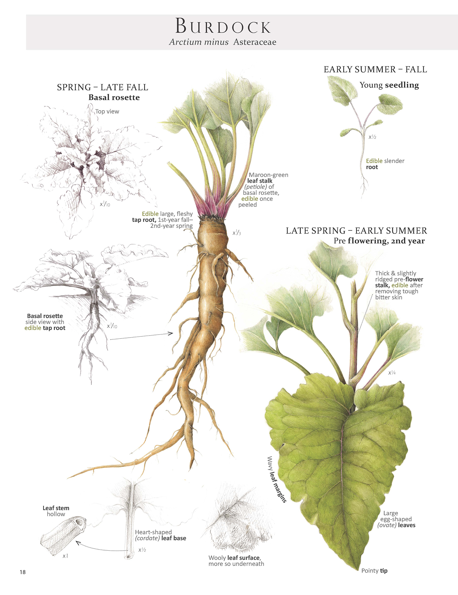 One of the Burdock pages from    Foraging & Feasting: A Field Guide and Wild Food Cookbook    by Dina Falconi; illustrated by Wendy Hollender.