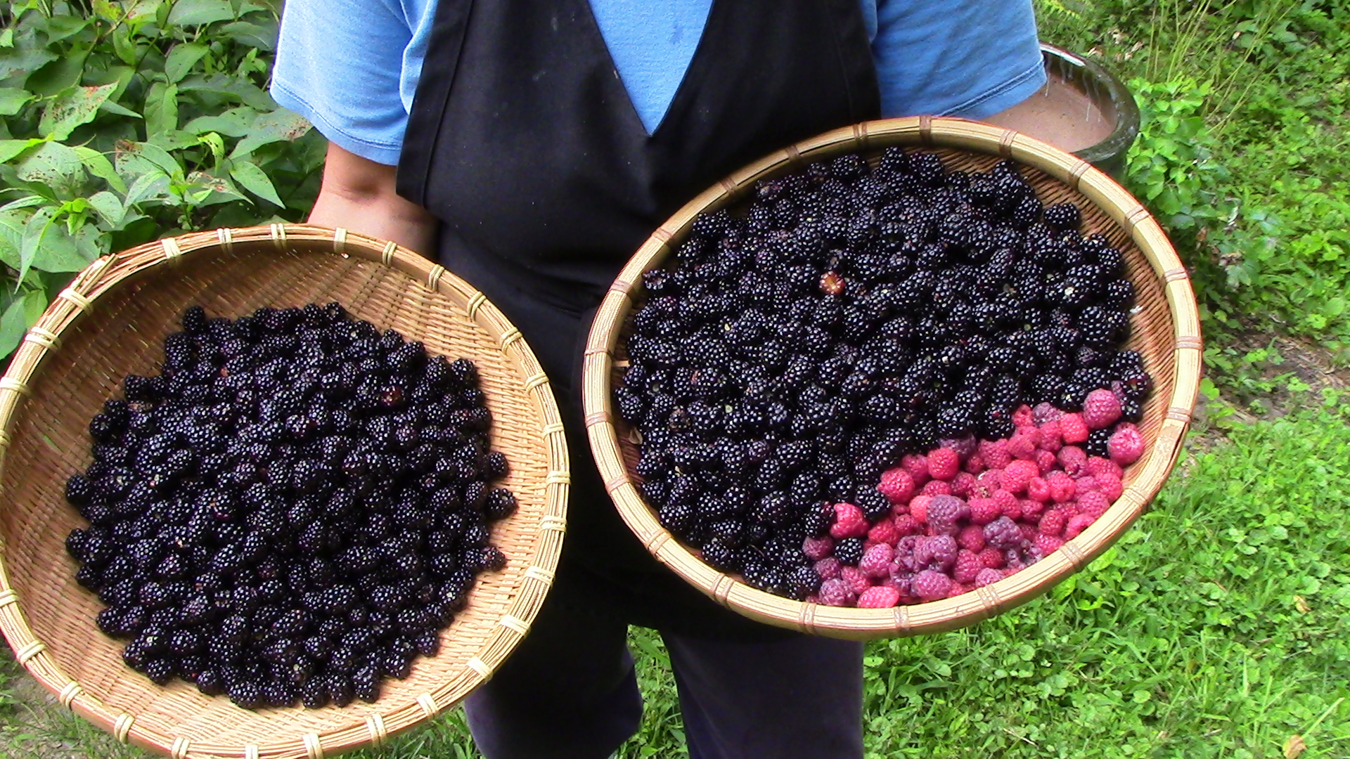 Berry picking in late July — blackberries and red & purple raspberries. Most of these berries were made into a Fruit Coulis and then frozen. From the Fruit Coulis I then make Fruit Mousse Pie, among other tasty things. The pie you see below was made this past Friday from red raspberries I picked in July.