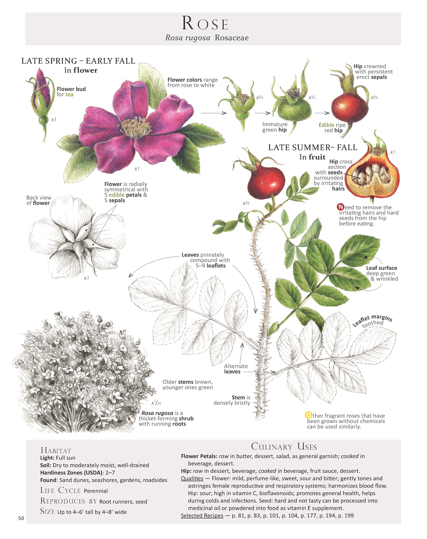 This Rose page is from our book Foraging & Feasting: A Field Guide and Wild Food Cookbook by (me) Dina Falconi, illustrated by Wendy Hollender ~ Book Link: http://bit.ly/1Auh44Q