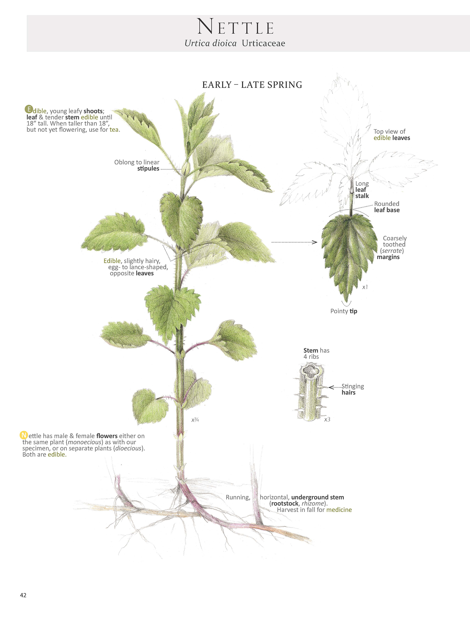 Spring Nettle Plant Map from our book Foraging & Feasting: A Field Guide and Wild Food Cookbook by Dina Falconi; illustrated by Wendy Hollender