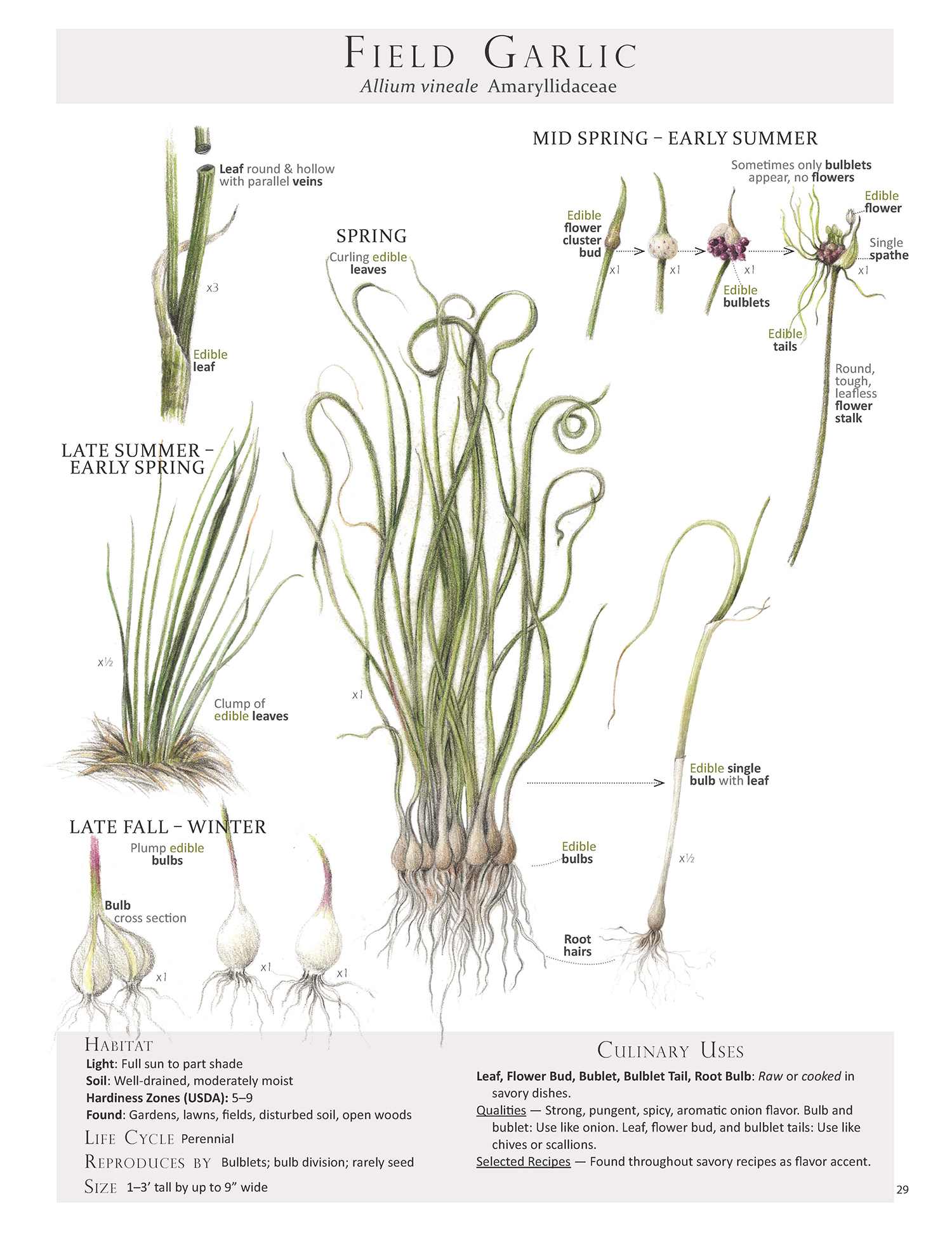 Field Garlic Plant Map from Foraging & Feasting: A Field Guide and Wild Food Cookbook by Dina Falconi; illustrated by Wendy Hollender  http://bit.ly/1Auh44Q