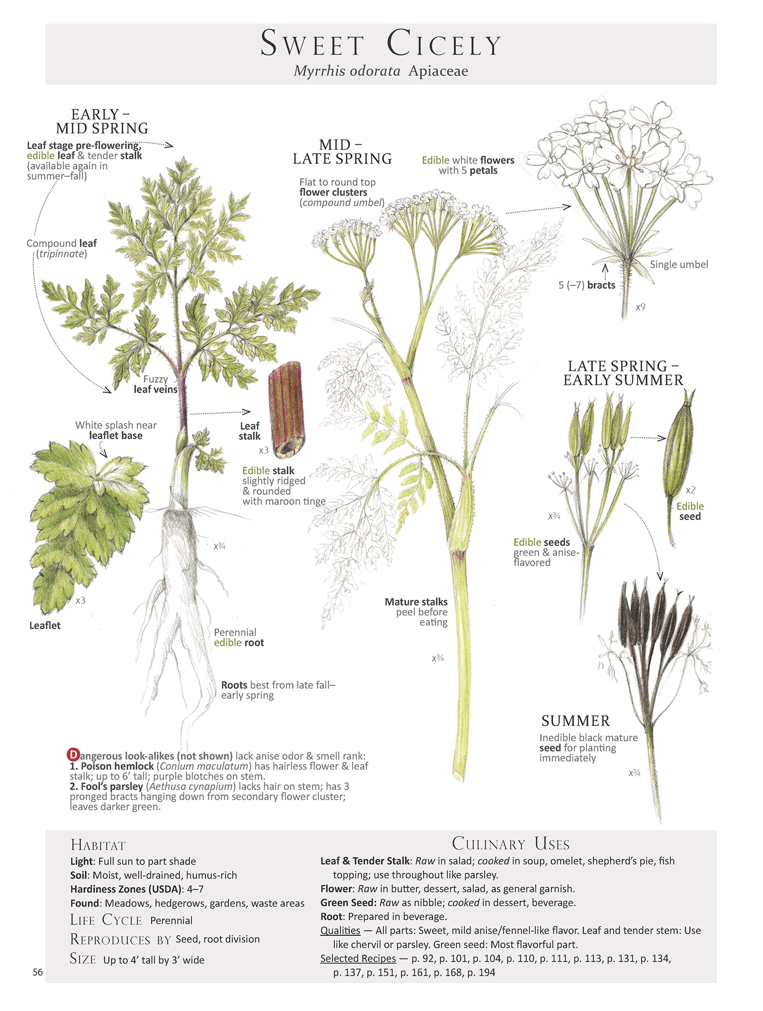 Sweet Cicely Plant Map from Foraging & Feasting: A Field Guide and Wild Food Cookbook by Dina Falconi; illustrated by Wendy Hollender  http://bit.ly/1Auh44Q