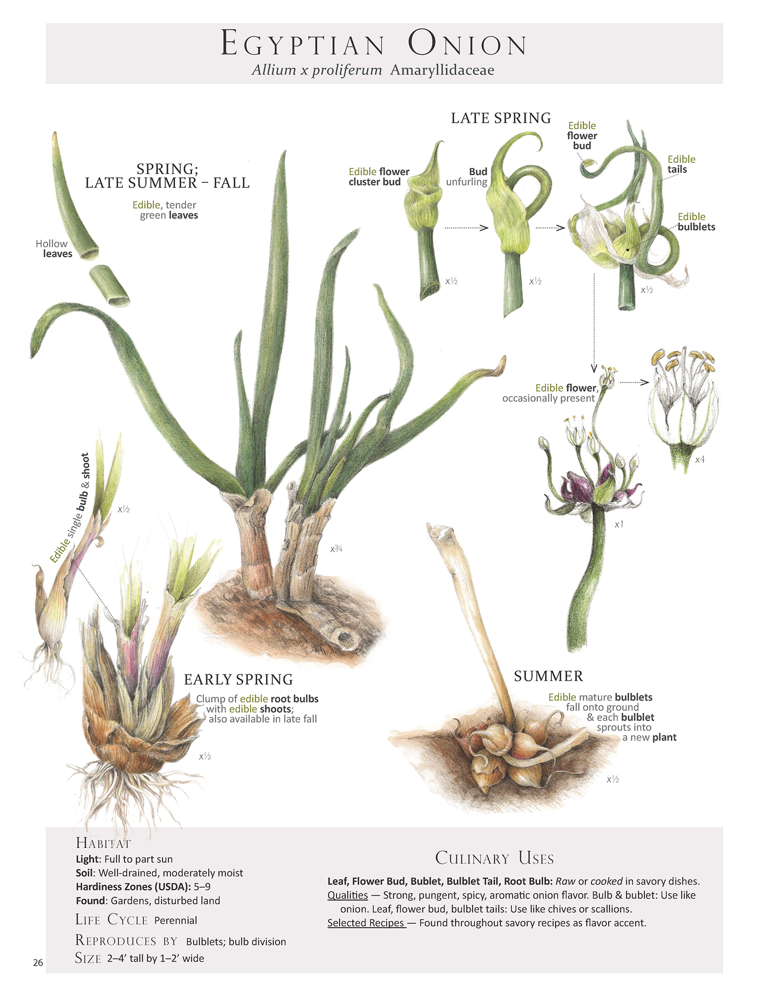 Egyptian Onion Plant Map from Foraging & Feasting: A Field Guide and Wild Food Cookbook by Dina Falconi; illustrated by Wendy Hollender  http://bit.ly/1Auh44Q