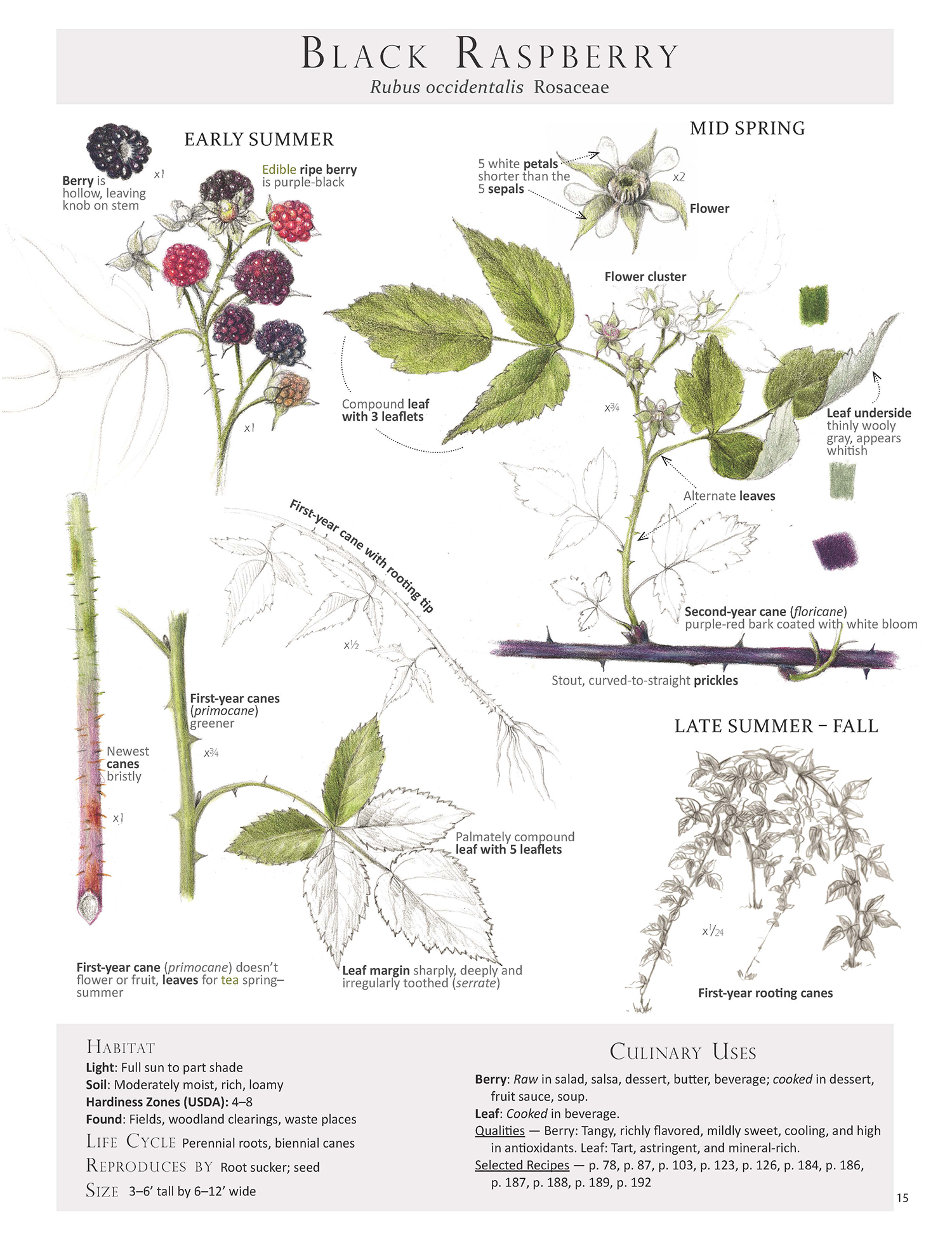 To help with id, harvest and use, here is our Black Raspberry Plant Map from Foraging & Feasting: A Field Guide and Wild Food Cookbook by Dina Falconi (me), illustrated by Wendy Hollender. Book link ~ http://bit.ly/1Auh44Q