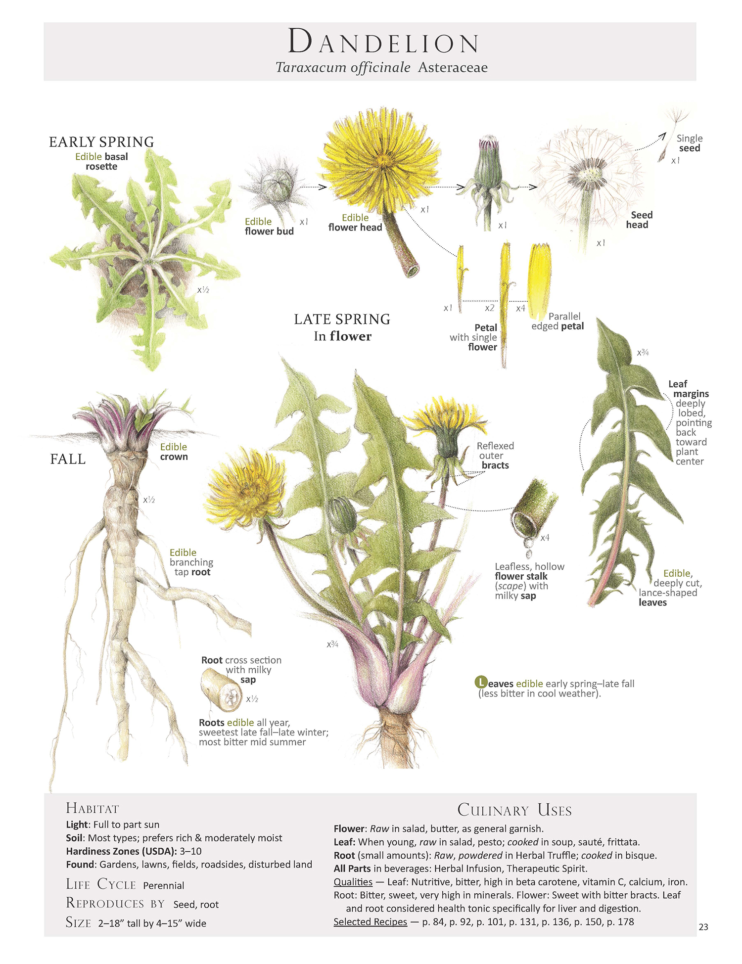 Dandelion plan map from our book Foraging & Feasting: A Field Guide and Wild Food Cookbook by Dina Falconi, illustrated by Wendy Hollender. Book Link:  http://bit.ly/1Auh44Q