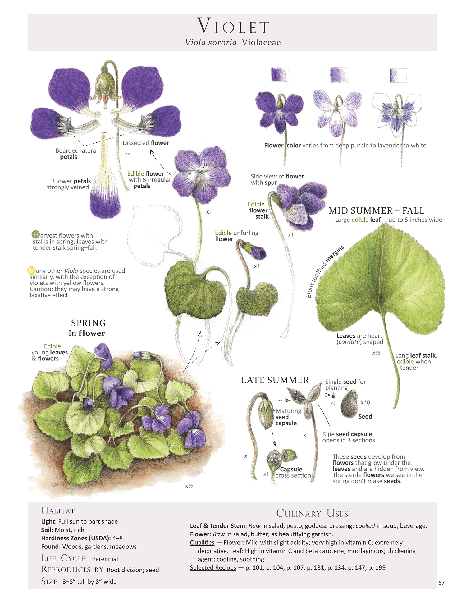 To help with id harvest and use here is the violet page, or plant map as I like to call them, from our book Foraging & Feasting: A Field Guide and Wild Food Cookbook by Dina Falconi, illustrated by Wendy Hollender. Book Link:    http://bit.ly/1Auh44Q