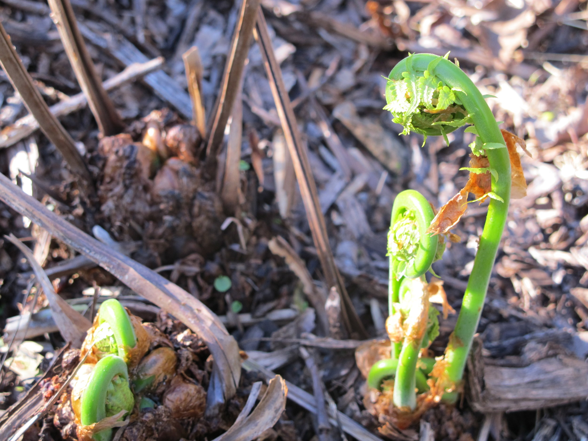 Ostrich Fern (Matteucia struthiopteris) unfurling April 27, 2019, Hudson Valley, NY. Perfect size for harvesting and eating . Note the brown paper-like scales on the emerging fronds.