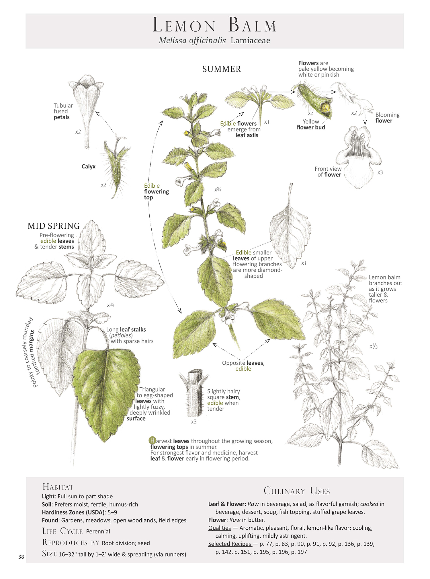 To help with id, harvest and use here is the lemon balm plant map from our book Foraging & Feasting: A Field Guide and Wild Food Cookbook by Dina Falconi, illustrated by Wendy Hollender. Book Link:  http://bit.ly/1Auh44Q