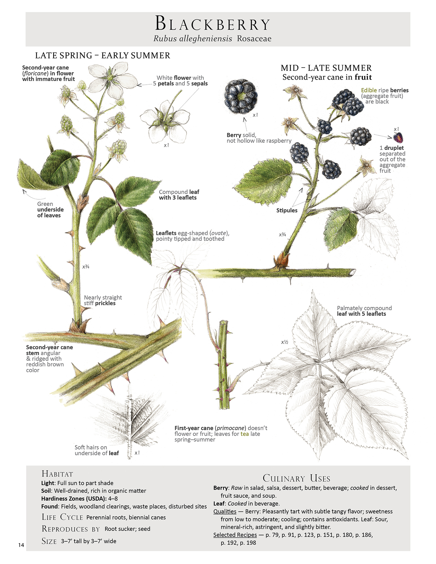 To help with id, harvest and use here is the blackberry plant map from our book Foraging & Feasting: A Field Guide and Wild Food Cookbook by Dina Falconi, illustrated by Wendy Hollender. Book Link:    http://bit.ly/1Auh44Q