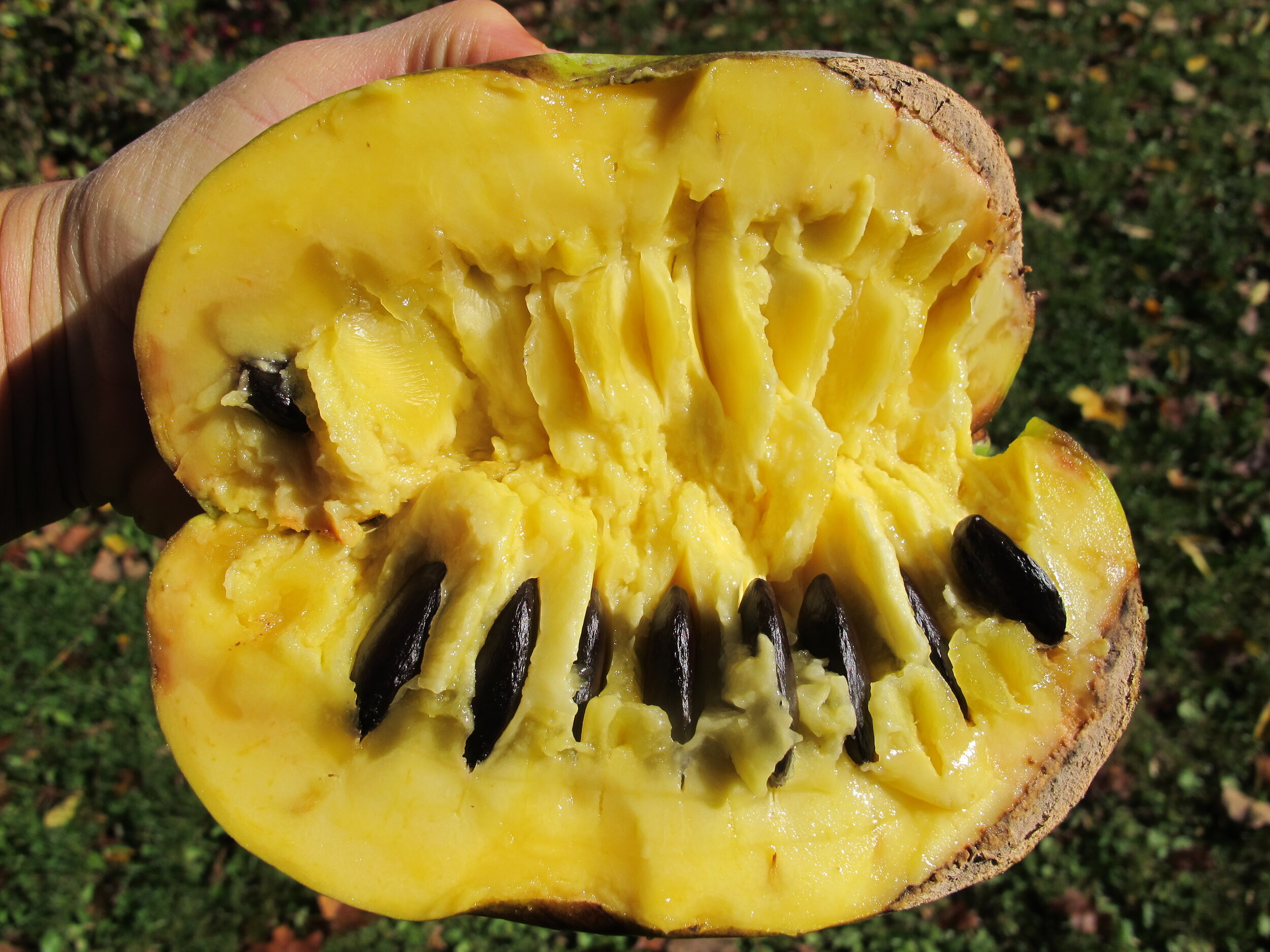Inside the pawpaw we see yellow flesh with black seeds. Only flesh / fruit pulp is edible. Remove skin and seeds. Eat flesh raw or cooked.