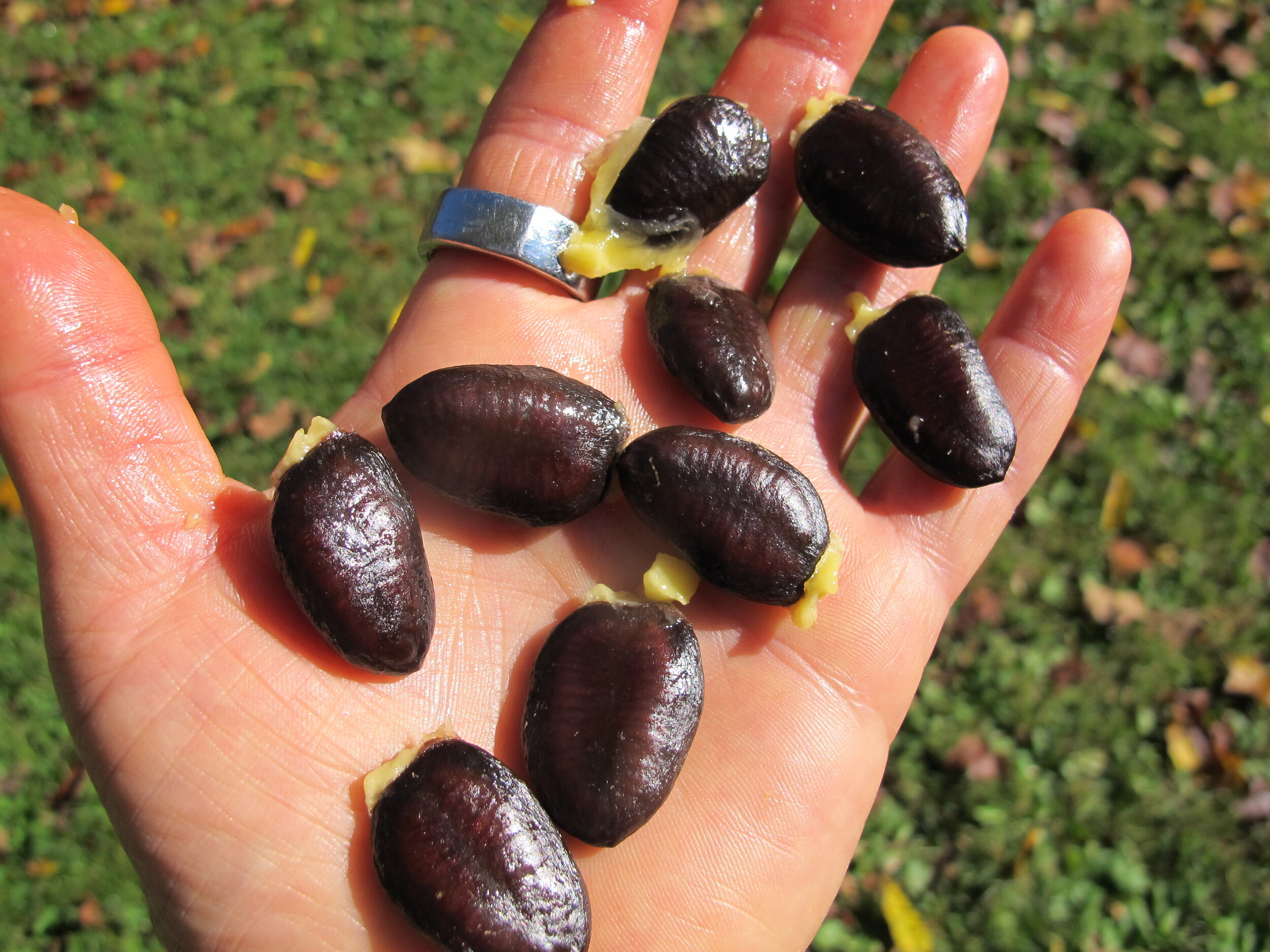 Large black seeds just removed from pawpaw fruit can be planted right away. Don' leave out at room temp for long (plant within a couple of days). Germination decreases very quickly if seeds dry out. See below for more info.