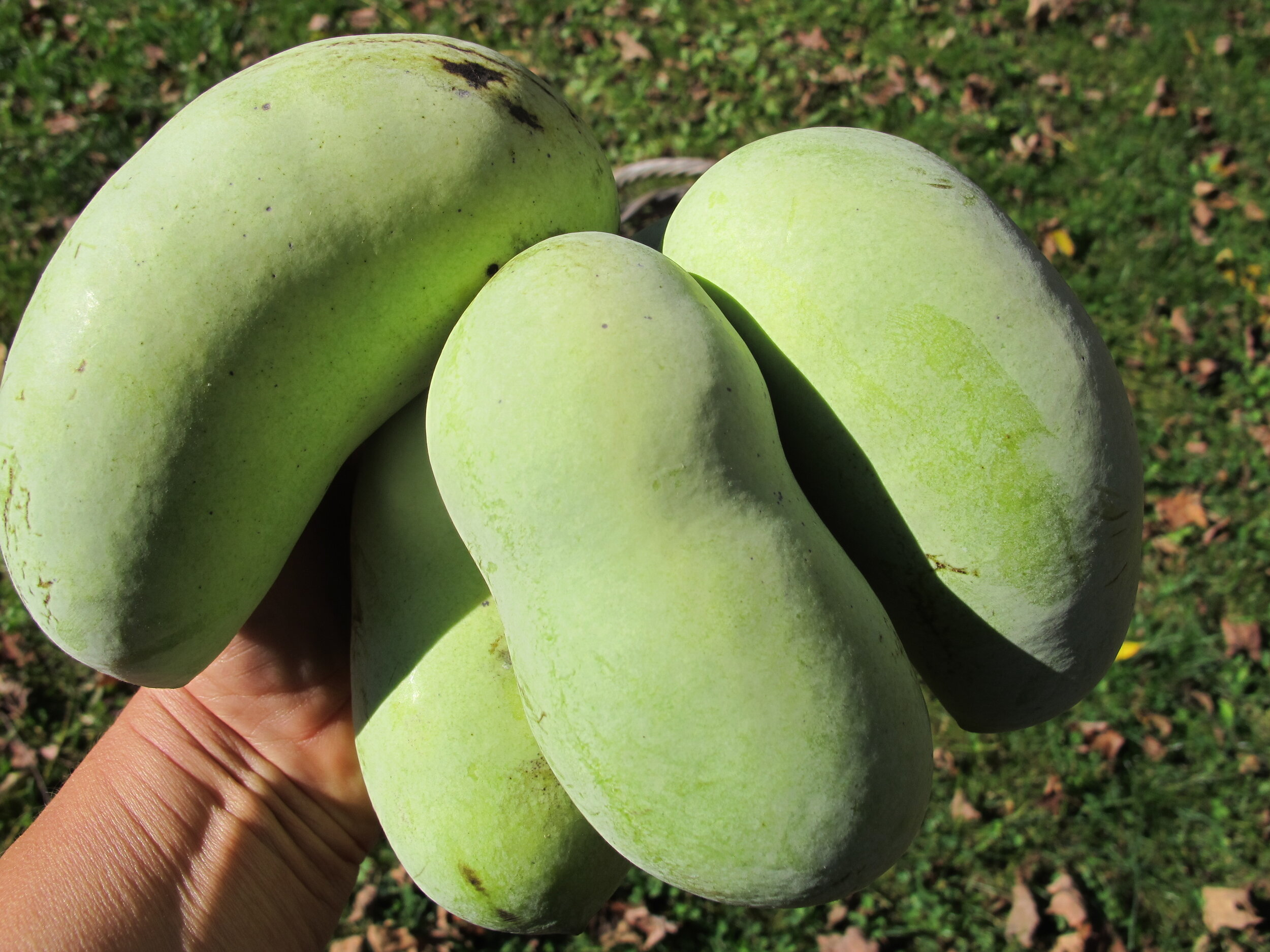 Look at the size of these pawpaws! The fifth one is hidden from view by its other siblings.