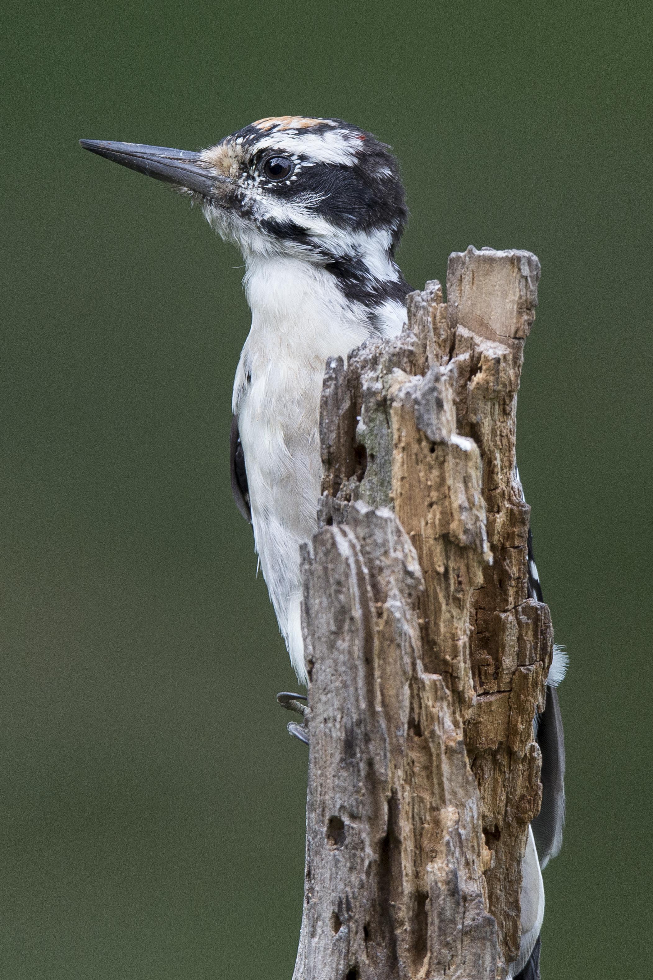 Hairy Woodpecker on the Stump