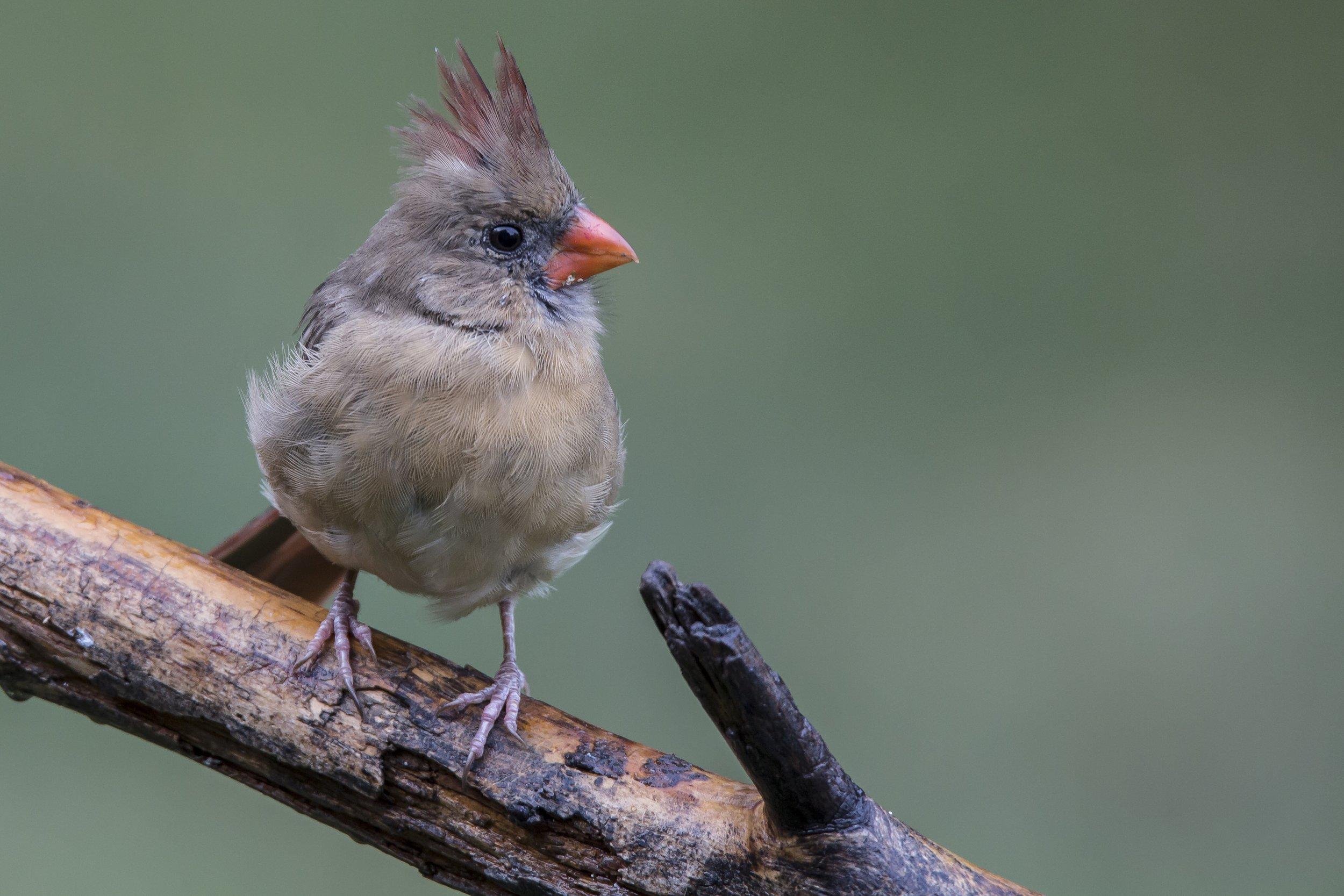 Femal Northern Cardinal.