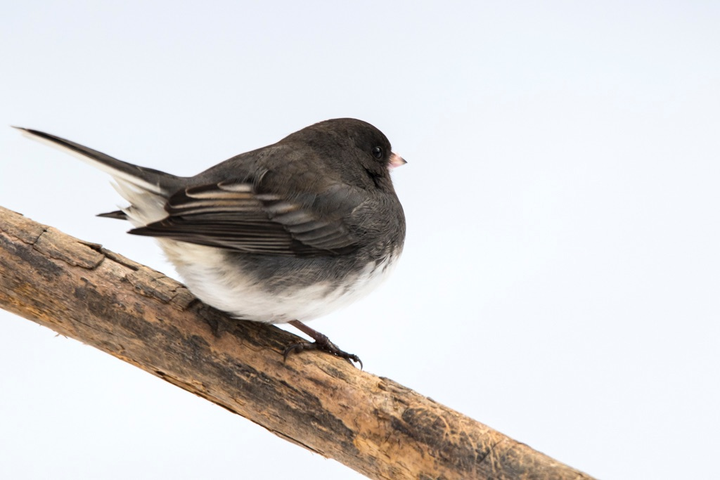 Junco on the Stick