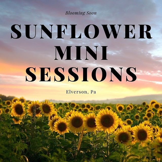Looks like we will have another beautiful display of sunflowers this year. Predicted for early August.  Reserve a spot for a morning or evening session. Available times weekdays from 7am-8am or 6pm-7:30pm. Email kate@katemazzi.com for updated availability and to reserve your session. Please note: I will do my best to accommodate requests. In the event I cannot reschedule due to rain, your booking fee will be returned or credited toward a future session.  Mini Session $200  10 minute session Five edited proofs Choose your favorite image and receive one 8x10 Canvas & matching digital image to share online. $50 to reserve your spot