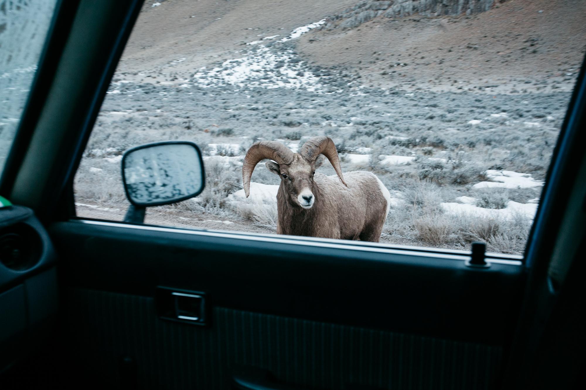 Day 3: National Elk Refuge, Jackson Hole, Wyoming.