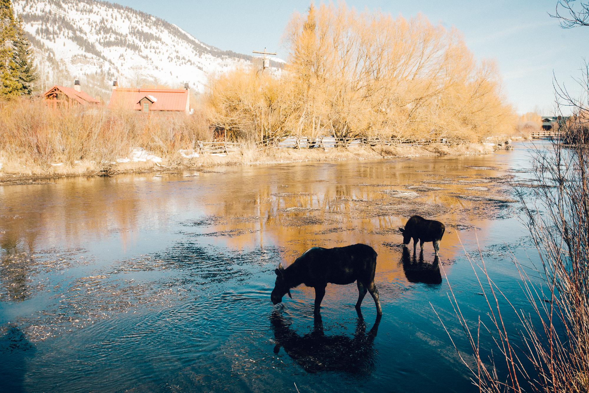 Day 4: Moose. Wyoming.