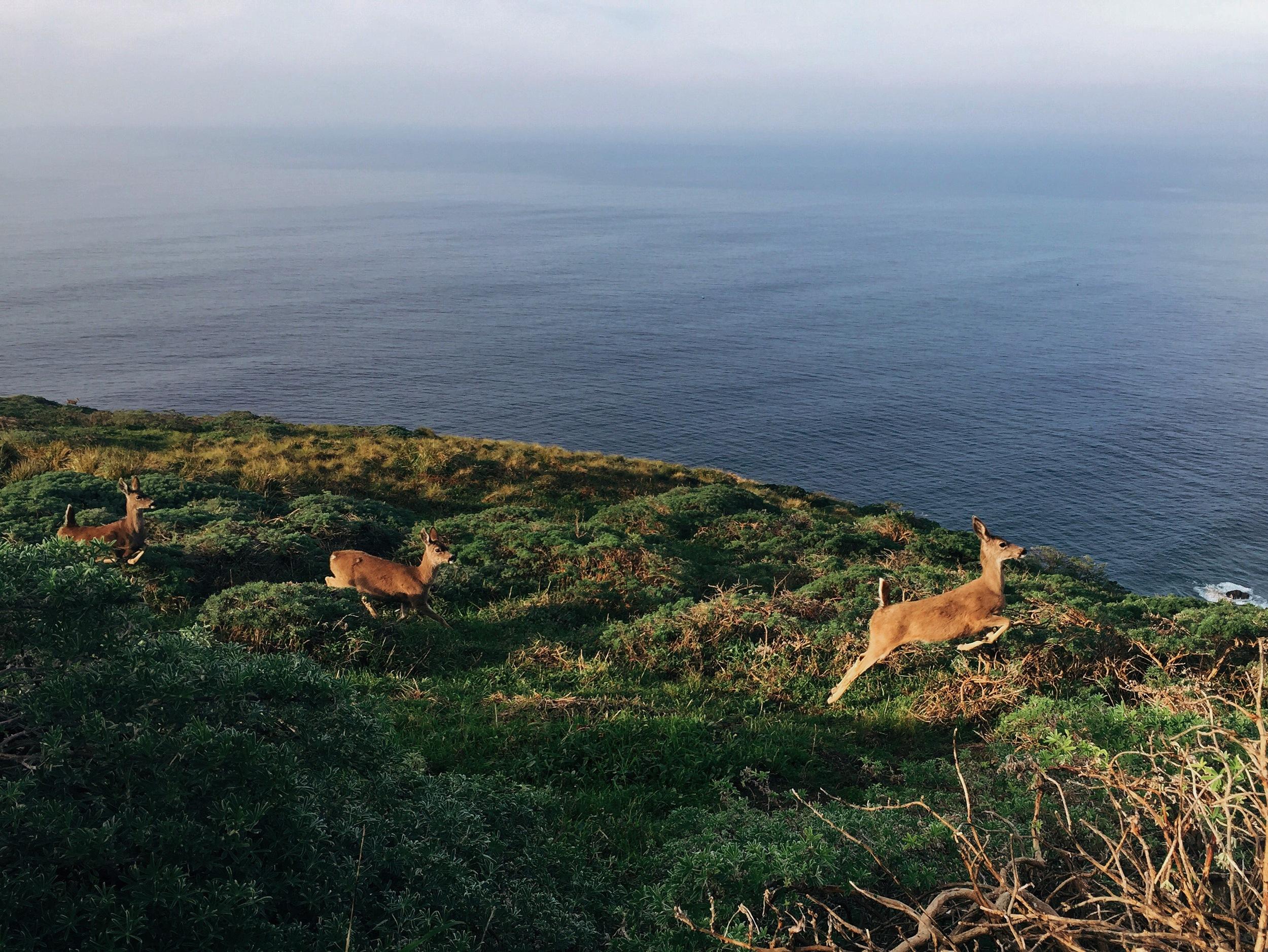 Point Reyes Deer.