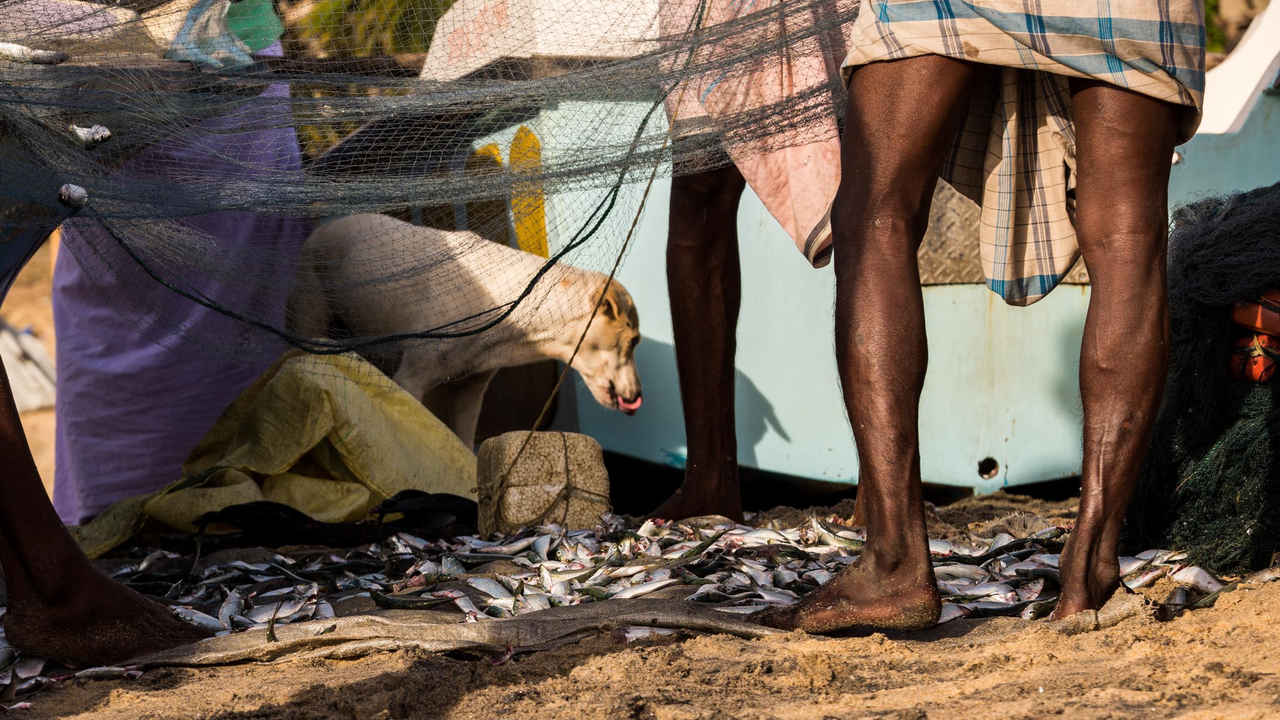 _4 Arugam bay Fishermen Dog amongst nets.jpg