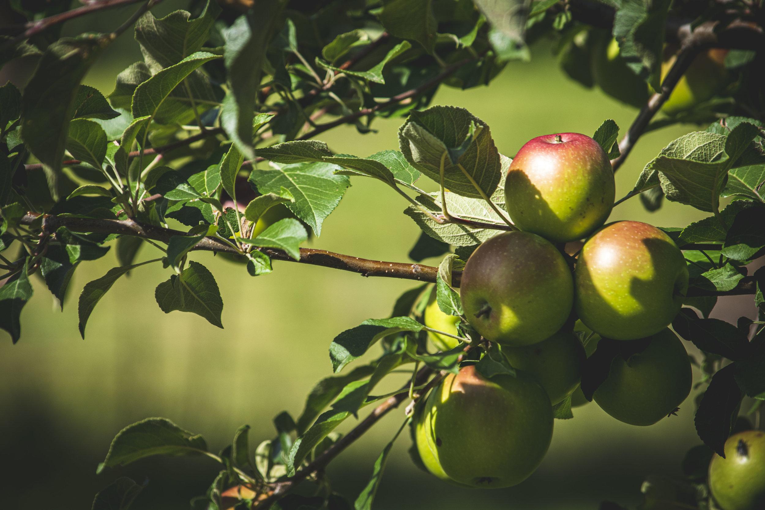 Celebrate the Apple Harvest Season!