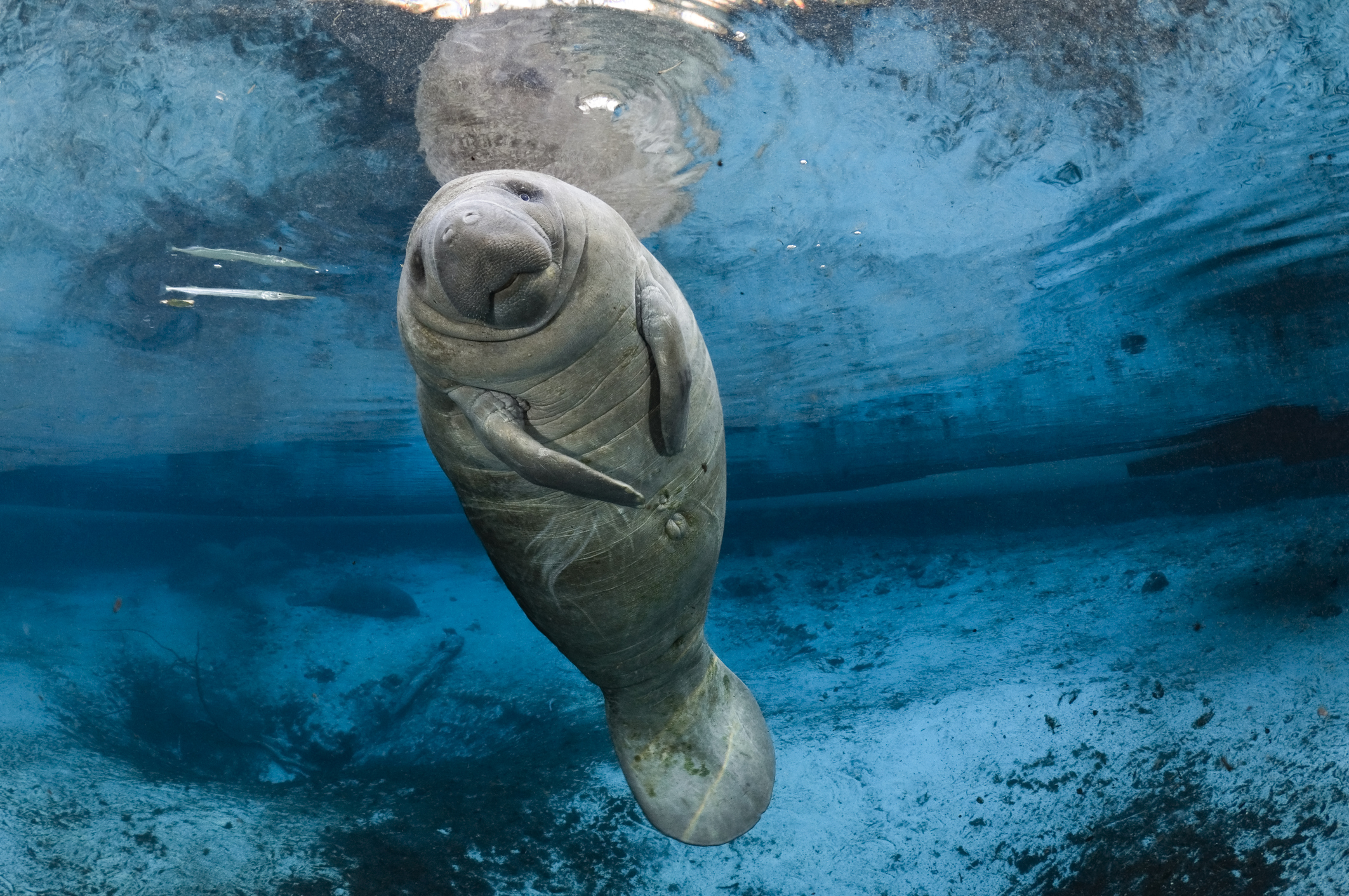 manatee-endangered-species.jpeg