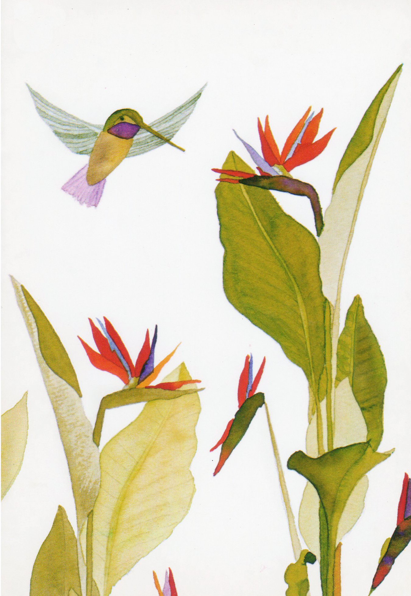 Hummingbird Bird of Paradise