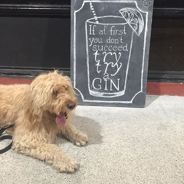"""If at first you don't succeed try try a gin & juice"" Snoop Dogg. #tgif #hendricks #thuglife #groodle #dogsofsurryhills #groodlelove #goldendoodle #groodleaustralia #dogsofinstagram #doublebay #sydney #doglife #groodlesydney #instapuppy #groodleaustralia #lioncut #animaladdicts #clubsoodle #love #instagood #photooftheday #followme #booze"