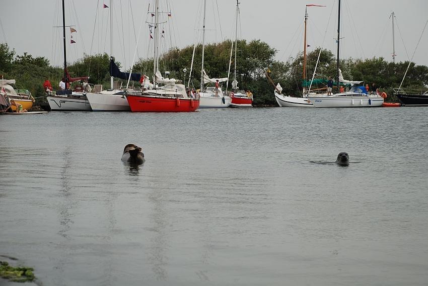 zeehonden Grevelingen.jpg
