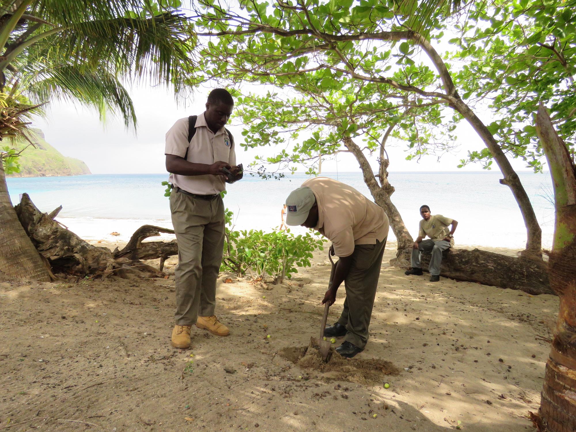 Forestry rangers plant neem trees to prevent beach erosion