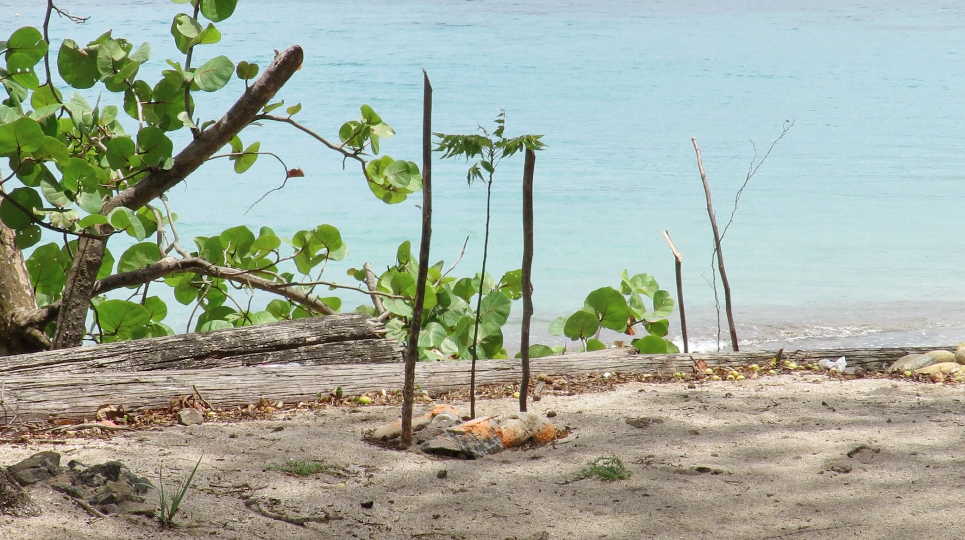 A newly-planted tree on lower bay beach
