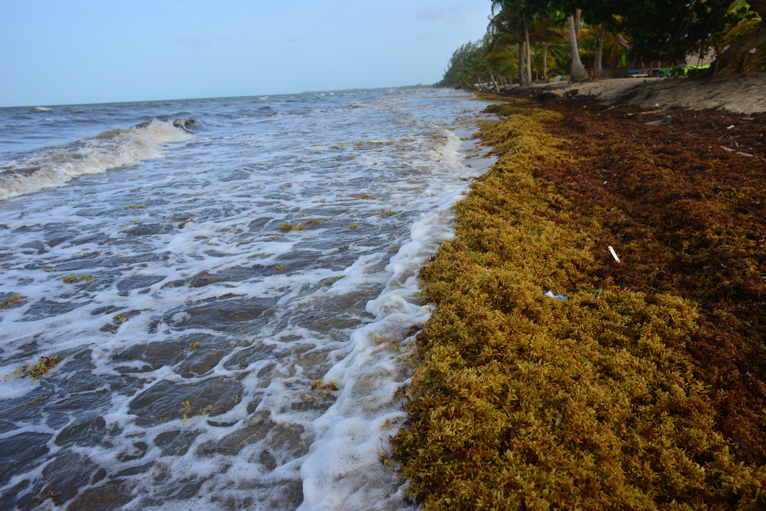 """""""The 2015 seaweed invasion appears to be a bumper crop, with a number of shorelines so severely hit that some tourists have canceled summer trips and lawmakers on Tobago have termed it a """"natural disaster,'"""" according to the AP."""