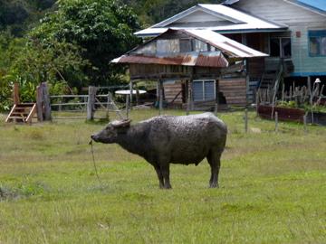 Photo by Scott Clemens. Water buffalo on Rice field in Pa' Lungan