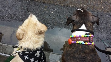 Spectators eagerly await the Mystic Krewe of Barkus, New Orleans' premiere all-dog krewe.