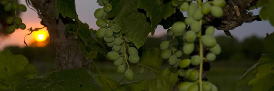 Evening Grapes