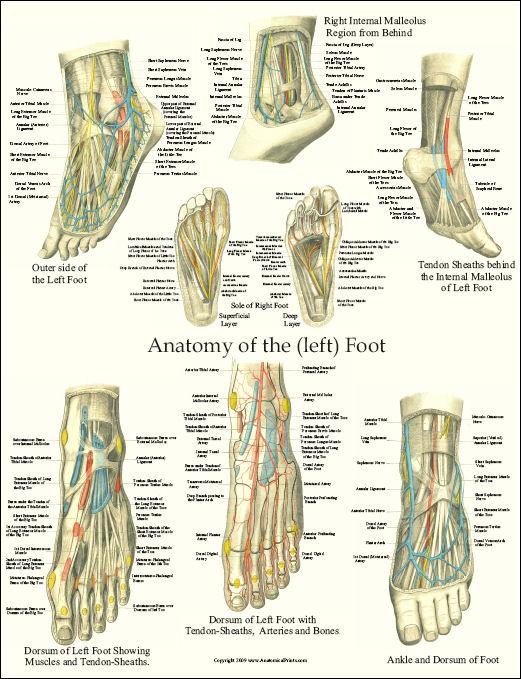 anatomyoftheleftfoot