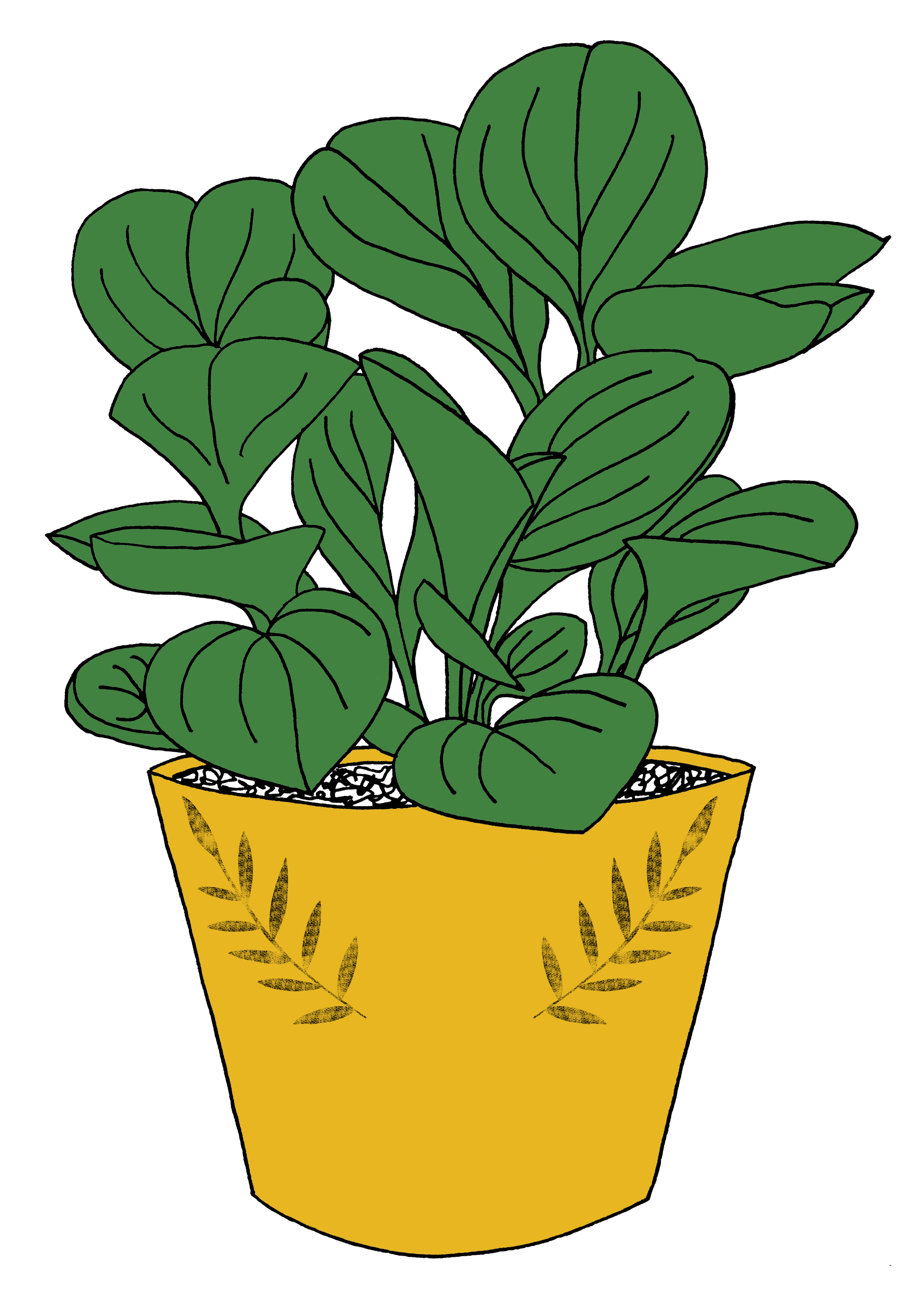 peperomia copy green.jpg